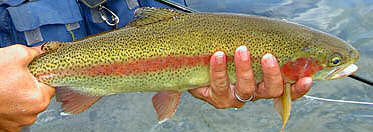 tl_files/ffi/pictures/RB/rainbow trout Silver Creek.jpg